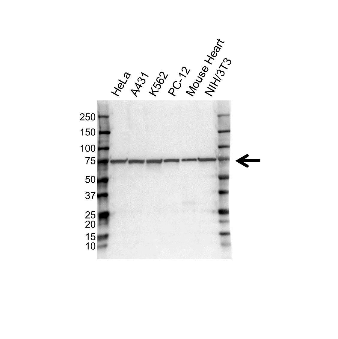 Anti Hsc70 Antibody (PrecisionAb Monoclonal Antibody) gallery image 1