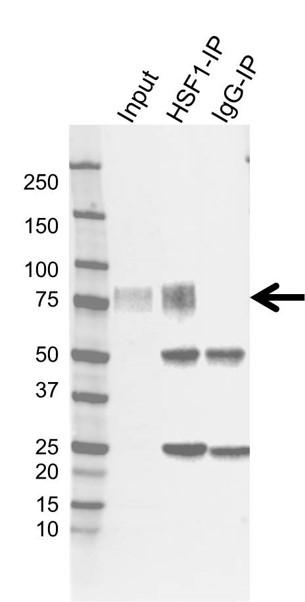 Anti HSF1 Antibody, clone CD01/1B5 (PrecisionAb Monoclonal Antibody) thumbnail image 1