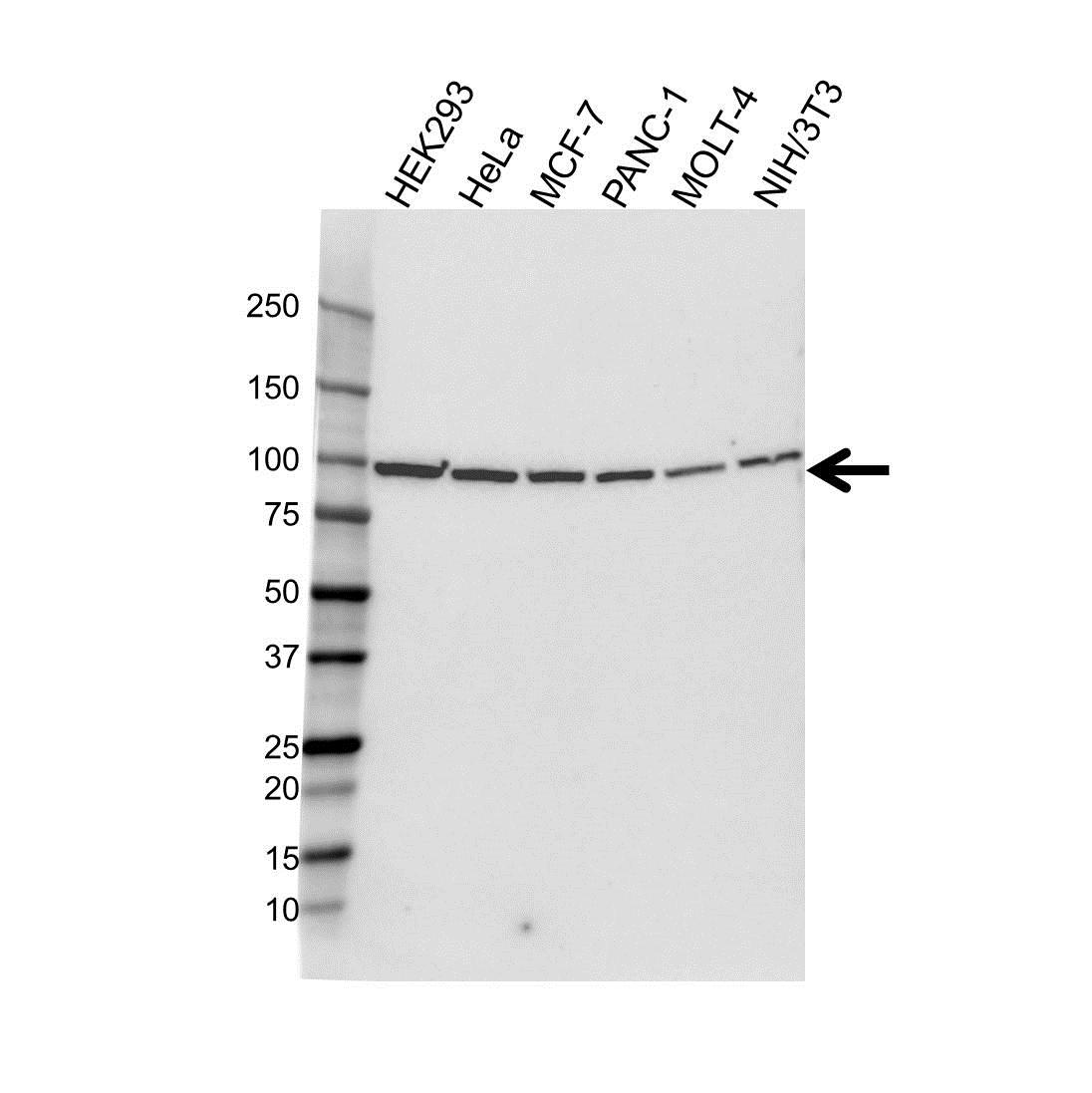 Anti HSP90B1 Antibody (PrecisionAb™ Monoclonal Antibody) gallery image 1