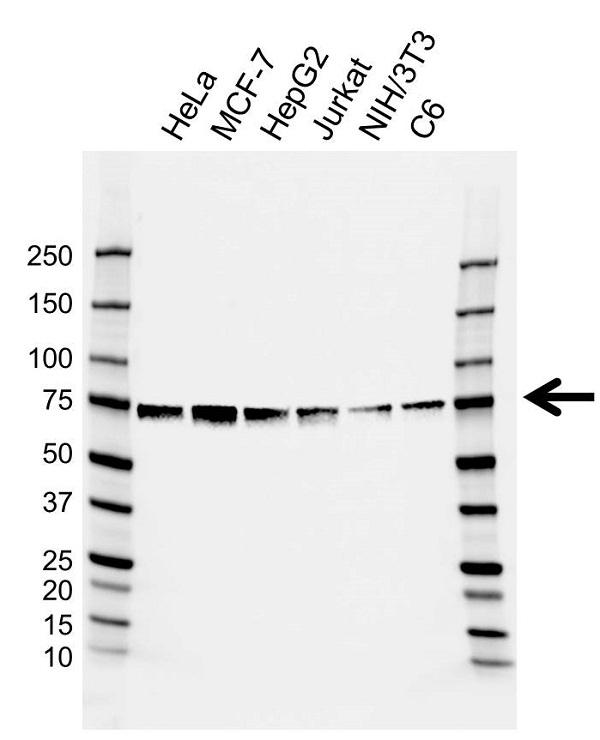 Anti HSPA2 Antibody, clone AB02/2E2 (PrecisionAb Monoclonal Antibody) gallery image 1