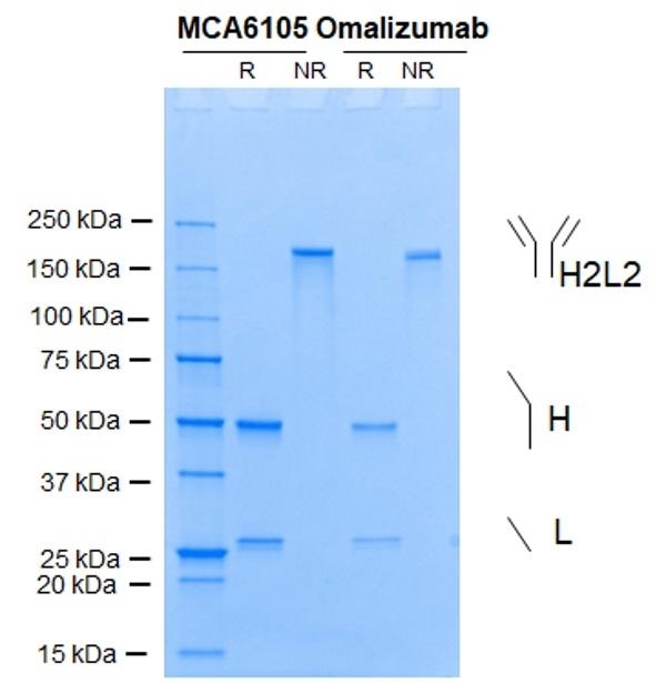Anti IgE (Omalizumab Biosimilar) Antibody, clone huMaE11 thumbnail image 1