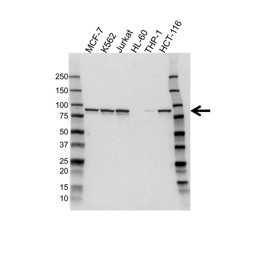 Anti IKK Antibody (PrecisionAb™ Monoclonal Antibody) gallery image 1
