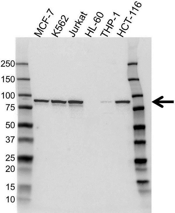 Anti IKK Antibody (PrecisionAb Monoclonal Antibody) thumbnail image 2