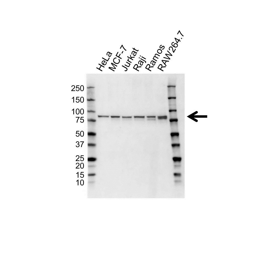 Anti IKK Epsilon Antibody (PrecisionAb™ Monoclonal Antibody) gallery image 1