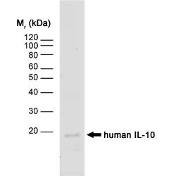 Anti Human Interleukin-10 Antibody, clone JES3-12G8 gallery image 1