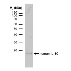 Anti Human Interleukin-10 Antibody, clone JES3-9D7 gallery image 1