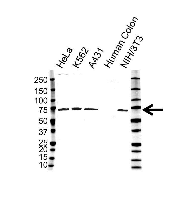 Anti IL-23 Receptor Antibody, clone OTI5H9 (PrecisionAb Monoclonal Antibody) gallery image 1