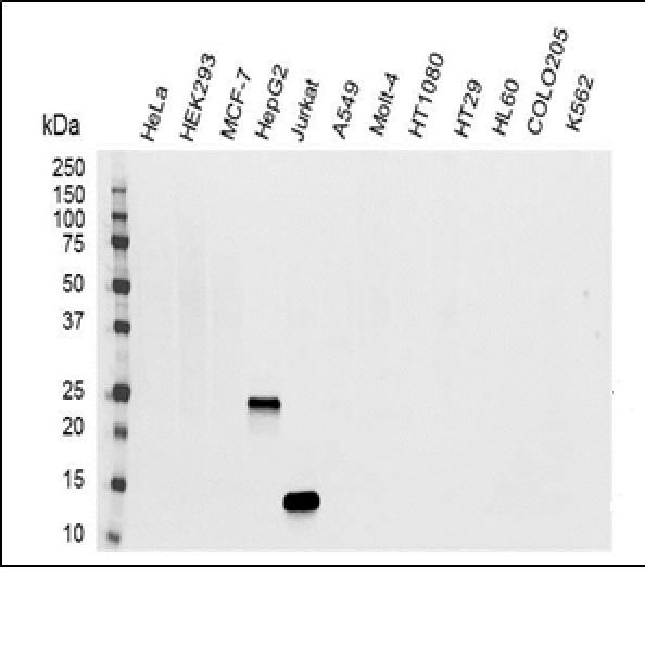 Anti Human Interleukin-32 Antibody, clone B08-3A9 gallery image 1