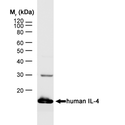 Anti Human Interleukin-4 Antibody, clone MP4-25D2 gallery image 1