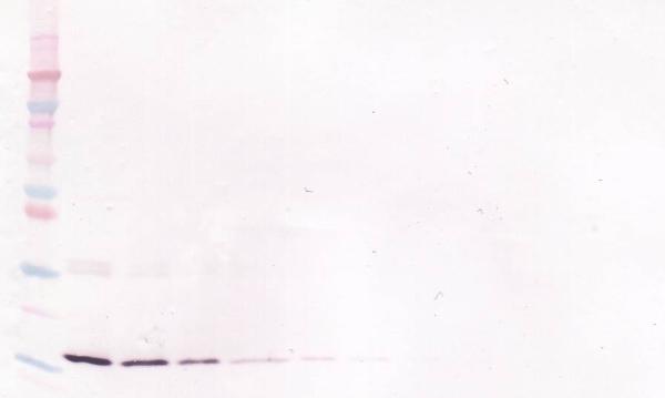 Anti Human Interleukin-7 Antibody, clone 2D8-24-25 gallery image 1