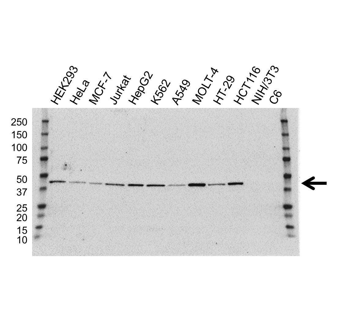 Anti ILF2 Antibody, clone OTI6F1 (PrecisionAb™ Monoclonal Antibody) gallery image 1