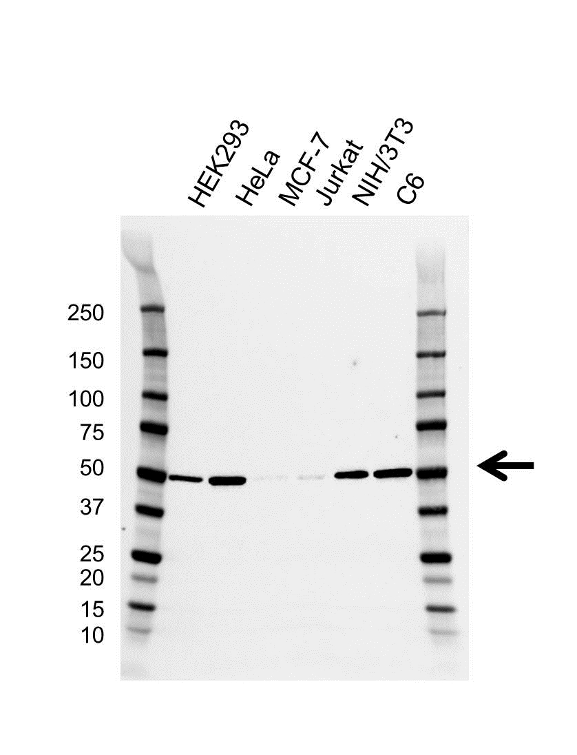 Anti ILK1 Antibody, clone CD01/2F7 (PrecisionAb Monoclonal Antibody) thumbnail image 1