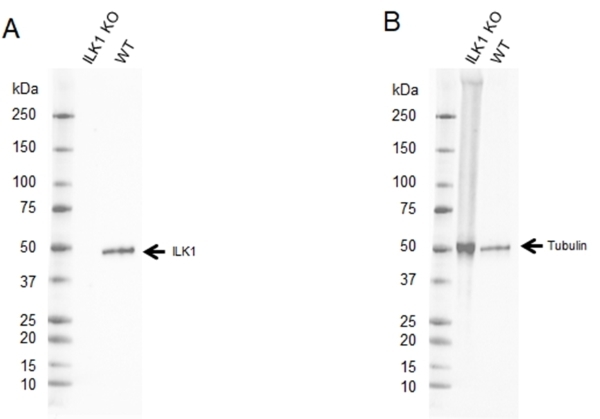 Anti ILK1 Antibody, clone CD01/2F7 (PrecisionAb Monoclonal Antibody) thumbnail image 2