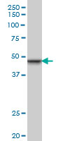 Anti Human INI-1 Antibody, clone 3E10 thumbnail image 1