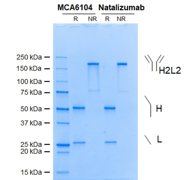 Anti Integrin Alpha 4 (Natalizumab Biosimilar) Antibody, clone Natalizumab thumbnail image 1