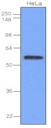 Anti Human IRF3 Antibody, clone 3F10 thumbnail image 1