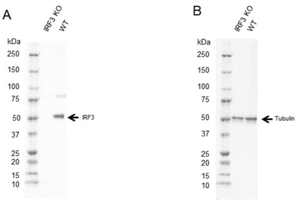 Anti IRF3 Antibody, clone AB01/1D2 (PrecisionAb Monoclonal Antibody) thumbnail image 1