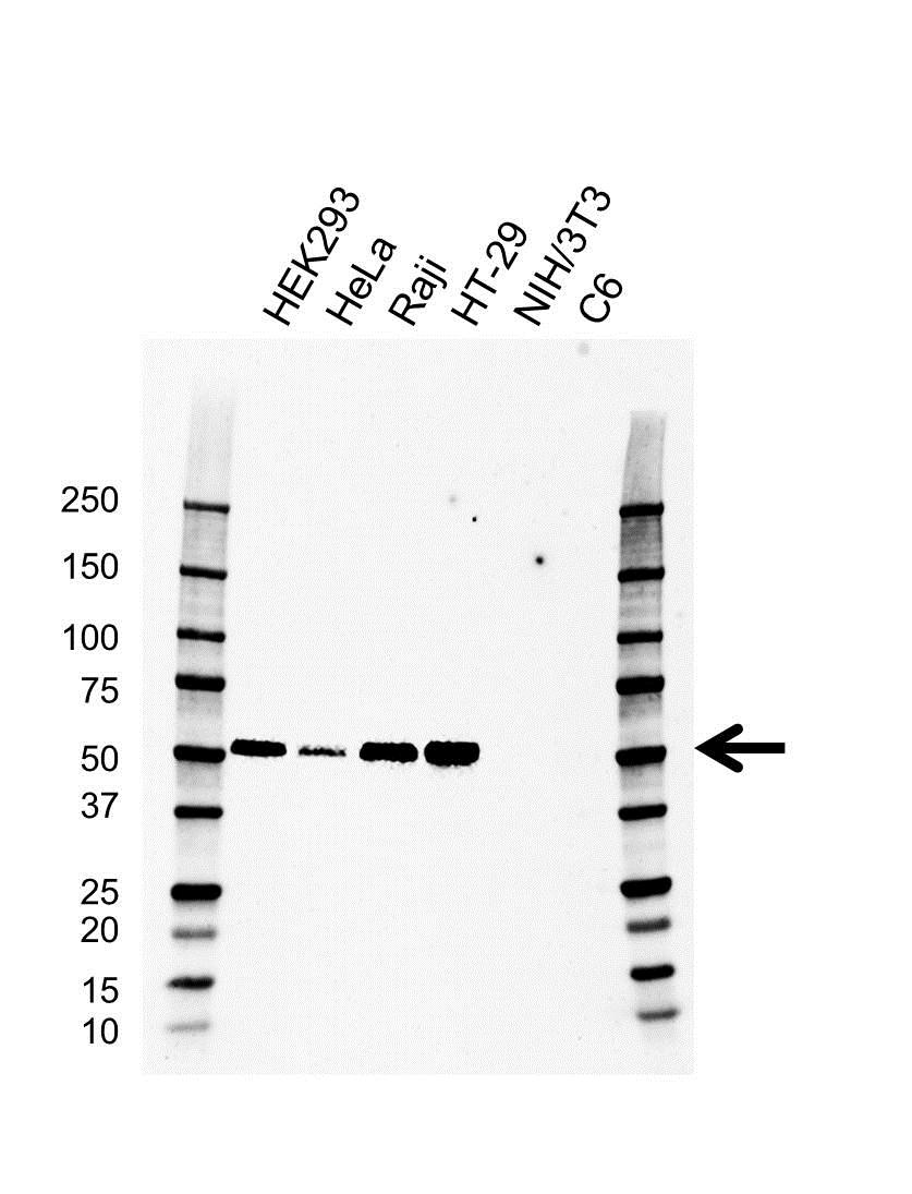 Anti IRF3 Antibody, clone AB01/1D2 (PrecisionAb™ Monoclonal Antibody) gallery image 1
