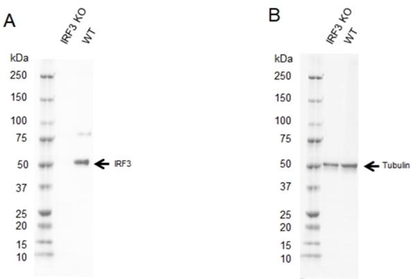 Anti IRF3 Antibody, clone AB01/1D2 (PrecisionAb Monoclonal Antibody) thumbnail image 2