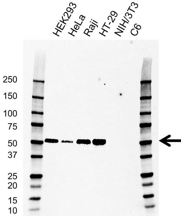 Anti IRF3 Antibody, clone AB01/1D2 (PrecisionAb Monoclonal Antibody) thumbnail image 3