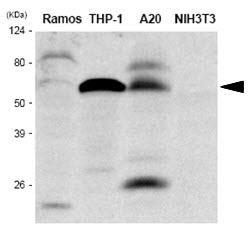 Anti Human IRF5 Antibody, clone 10T1 thumbnail image 1