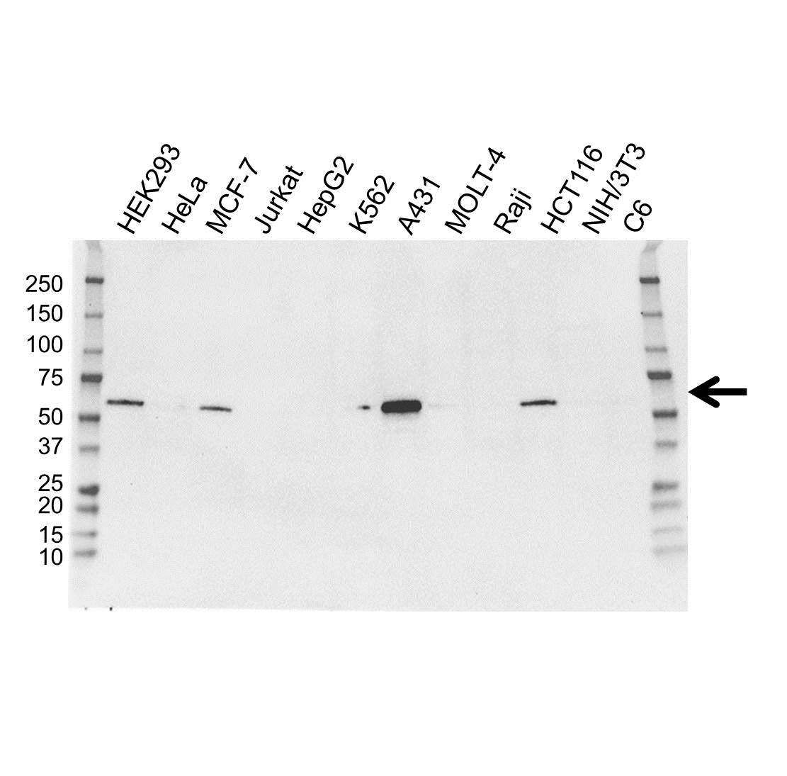 Anti IRF6 Antibody, clone OTI2C10 (PrecisionAb Monoclonal Antibody) gallery image 1