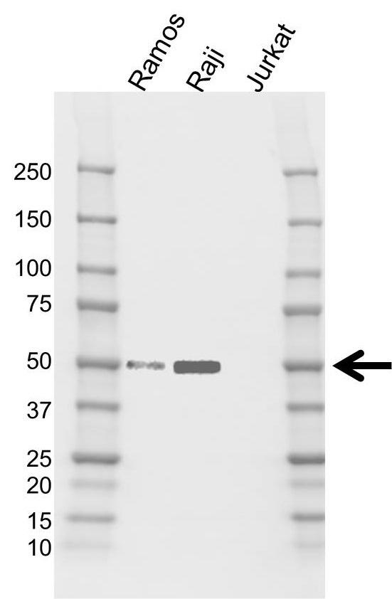 Anti IRF8 Antibody, clone CD01/4H2 (PrecisionAb Monoclonal Antibody) gallery image 1