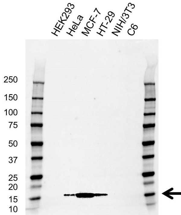 Anti ISG15 Antibody, clone AB01/4E8 (PrecisionAb Monoclonal Antibody) gallery image 1