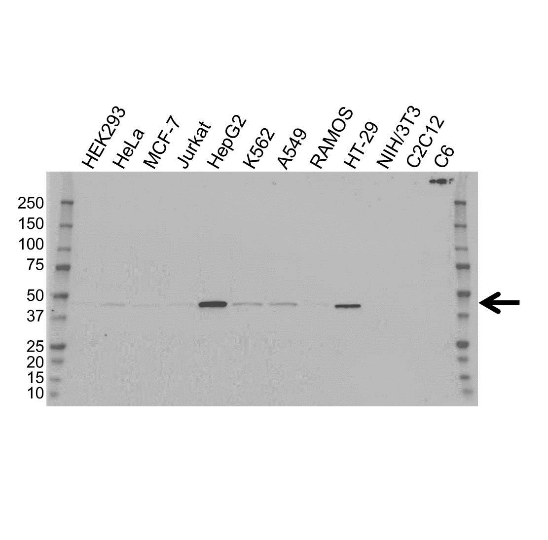 Anti Isocitrate Dehydrogenase 1 Antibody, clone OTI2H9 (PrecisionAb Monoclonal Antibody) gallery image 1