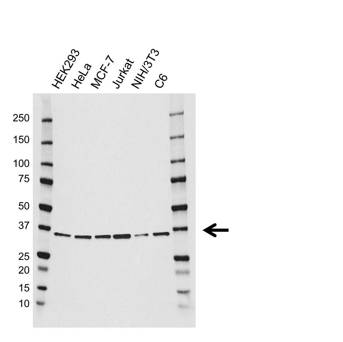 Anti JAB1 Antibody (PrecisionAb™ Monoclonal Antibody) gallery image 1