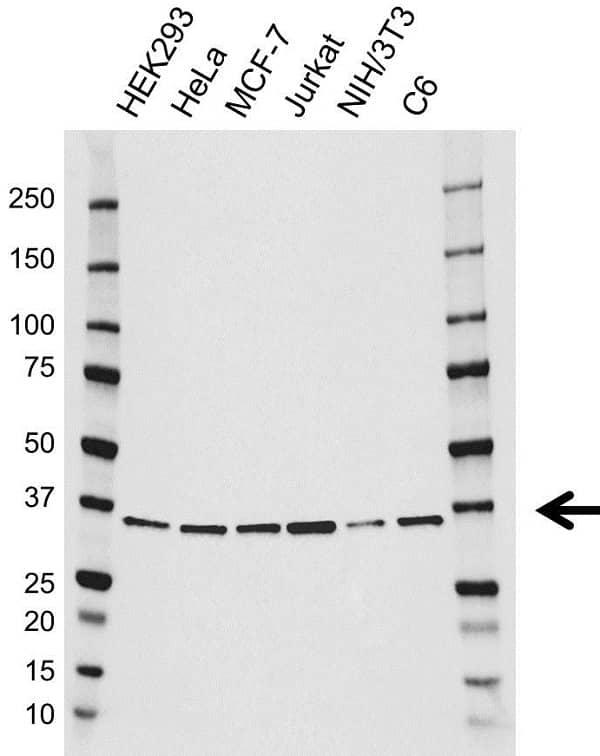 Anti JAB1 Antibody (PrecisionAb Monoclonal Antibody) gallery image 1