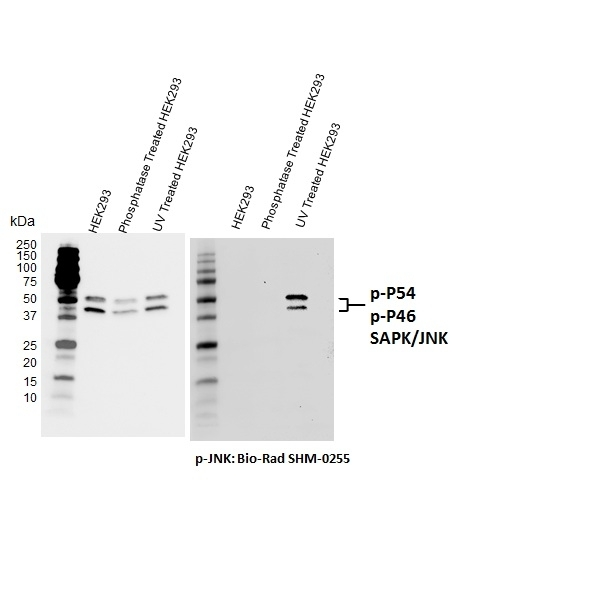 Anti Jnk (pThr183/pTyr185) Antibody, clone D04-7G6 gallery image 1