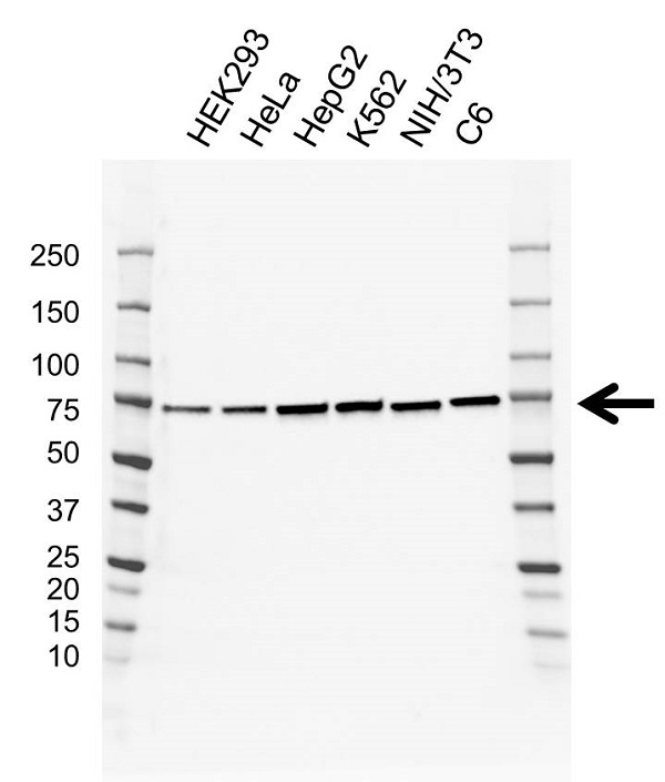 Anti Kars Antibody, clone AB01/3F8 (PrecisionAb Monoclonal Antibody) thumbnail image 1