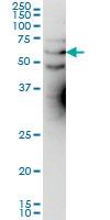 Anti Human KCNA3 Antibody, clone 1D8 gallery image 1