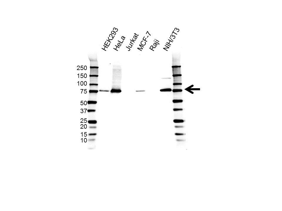 Anti KIND2 Antibody, clone OTI25A4 (PrecisionAb™ Monoclonal Antibody) gallery image 1