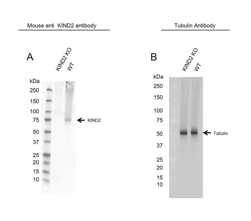 Anti KIND2 Antibody, clone OTI25A4 (PrecisionAb Monoclonal Antibody) thumbnail image 2