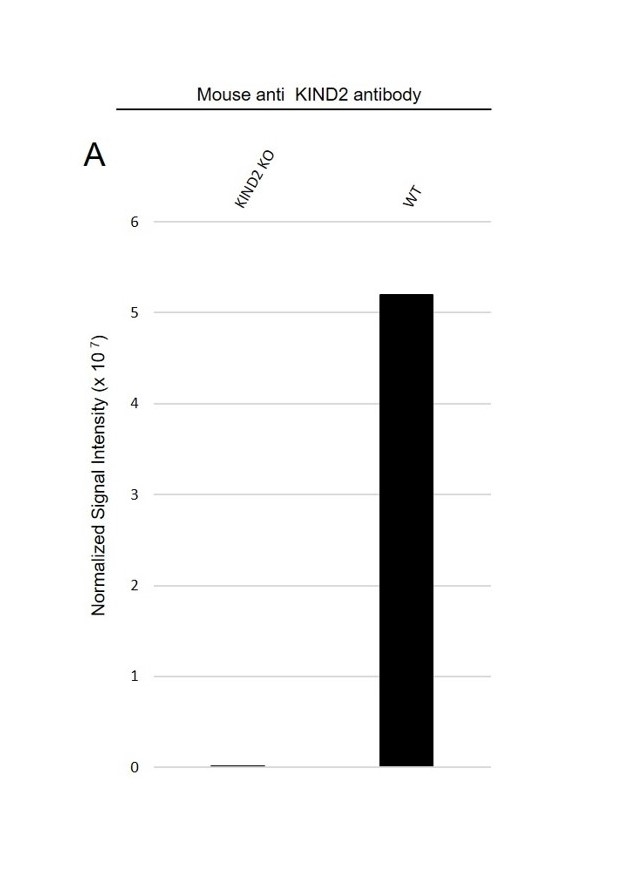 Anti KIND2 Antibody, clone OTI25A4 (PrecisionAb Monoclonal Antibody) thumbnail image 3