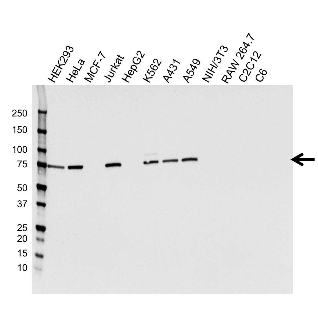 Anti Kinesin Family Member 2C Antibody, clone CPTC20 (PrecisionAb™ Monoclonal Antibody) gallery image 1