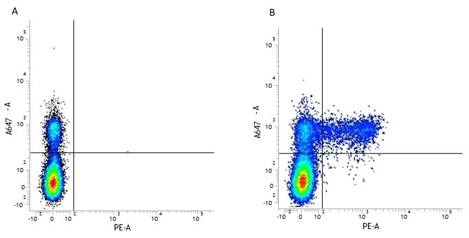 Anti Human KIR Antibody, clone NKVFS1 thumbnail image 2