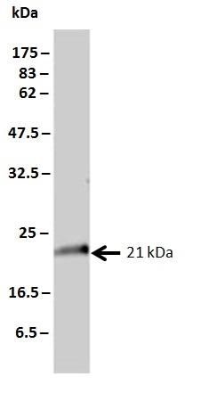 Anti Human KRAS Antibody, clone 3B10-2F2 thumbnail image 2