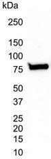 Anti Human Ku70 Antibody, clone 4C2-1A6 thumbnail image 4