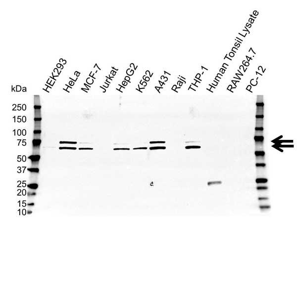 Anti Lamin A/C Antibody, clone OTI3F6 (PrecisionAb Monoclonal Antibody) gallery image 1