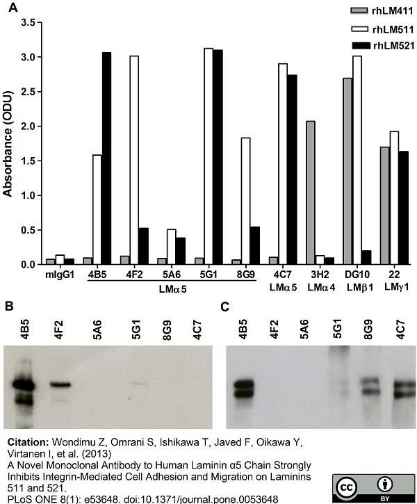 Anti Human Laminin Alpha 5 Antibody, clone 4C7 (2D8/33) thumbnail image 2