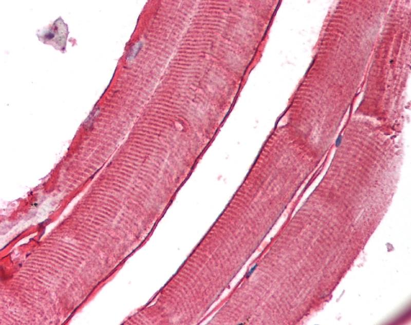 Anti Human Laminin Alpha 2 Antibody, clone 5H2 thumbnail image 4