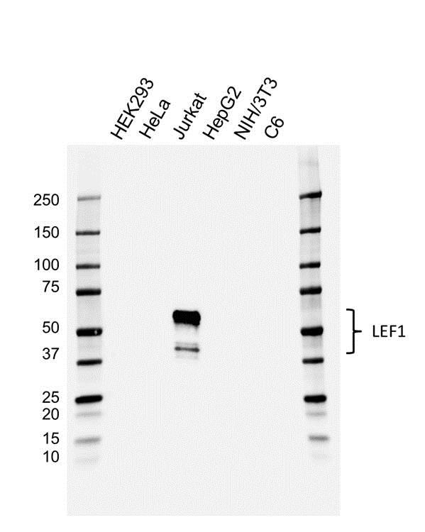 Anti LEF1 Antibody, clone 1866CT359.68.92.75 (PrecisionAb™ Monoclonal Antibody) gallery image 1
