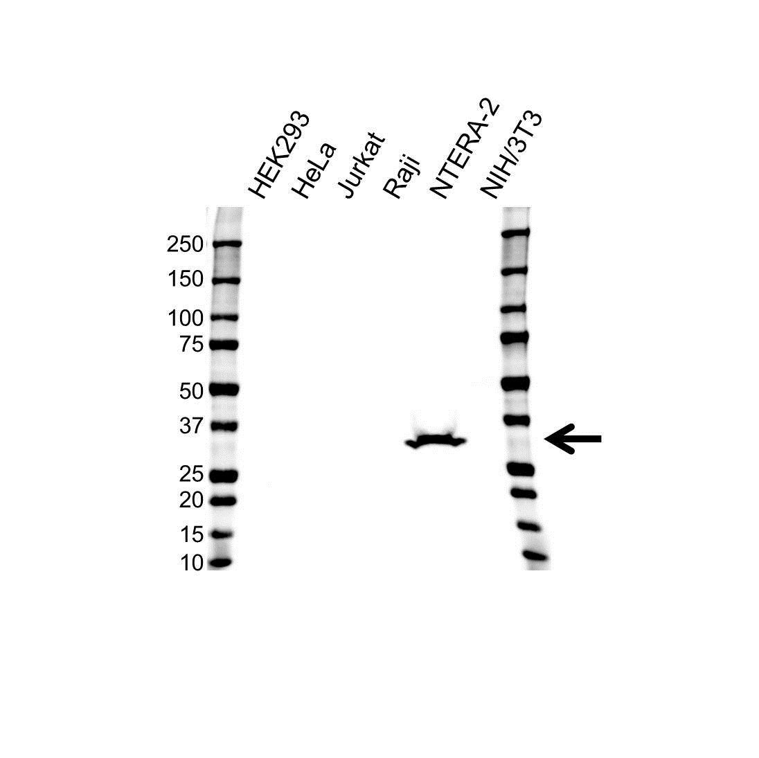 Anti LIN28A Antibody (PrecisionAb™ Monoclonal Antibody) gallery image 1