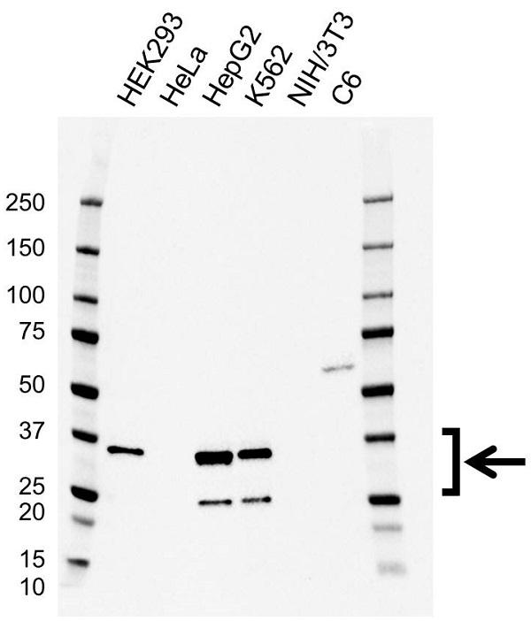 Anti LIN28B Antibody, clone CD03/4D4 (PrecisionAb Monoclonal Antibody) gallery image 1