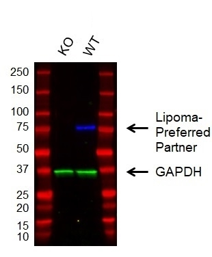 Anti Lipoma-Preferred Partner Antibody, clone 8B3A11 (PrecisionAb Monoclonal Antibody) gallery image 2