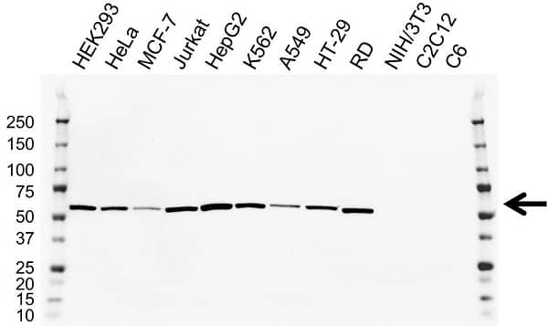 Anti LMAN1 Antibody, clone OTI2B10 (PrecisionAb Monoclonal Antibody) thumbnail image 2
