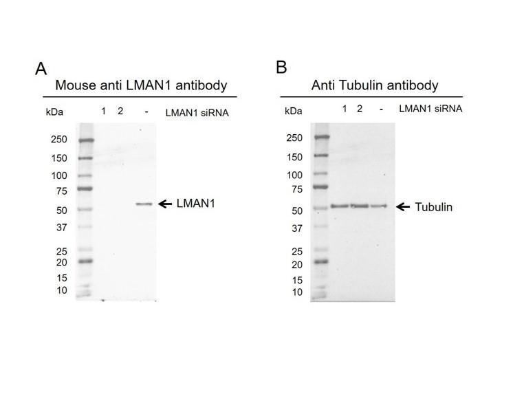 Anti LMAN1 Antibody, clone OTI2B10 (PrecisionAb Monoclonal Antibody) thumbnail image 3
